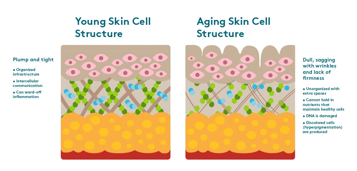 Difference between young and aging skin cell structure