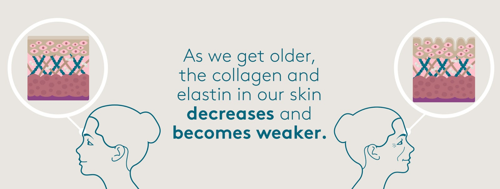 Collagen and elastin decreases in 30 year old skin
